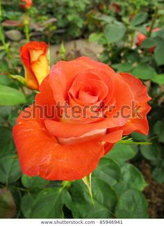 Beautiful red rose in greenhouse Beautiful Red Roses, Nature Photos, Photo Editing, Victoria, Stock Photos, Flowers, Plants, Image, Editing Photos