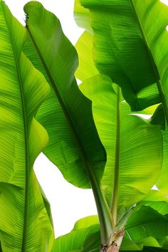 GREEN banana LEAF DETAIL
