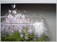 All about Utricularia (Bladderworts) - Page 3 - General Aquarium Plants Discussions - Aquatic Plant Central