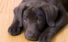sad_black_lab_puppy_500x310.jpg 500×310 pixels