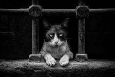 You are done! by Bedreddin - Photo 52307268 / 500px.  #500px #blackandwhite #schwarzweiss #noiretblanc #siyahbeyaz #monochrome #pet #cat #cats #kitten #kitty #kittycat #pussycat #meow #kedi #katze #animal #animalphotography #fineart #art #artphoto #white #black #look #serious #angry #istanbul #turkey