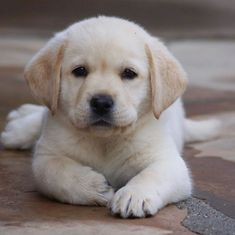 I am A Labrador Owner & In This Page I will Provide labrador retriever puppies l.-- I am A Labrador Owner & In This Page I will Provide labrador retriever puppies labrador retriever facts And labrador retriever training & care Cute Baby Dogs, Cute Little Puppies, Cute Dogs And Puppies, Pet Dogs, Pets, Doggies, Cutest Dogs, Puppy Love, Labrador Retrievers