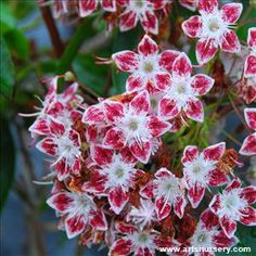 Kalmia are a relatively unknown and underused evergreen shrub for shady locations. Deep green foliage is accented by unbelievaby beautiful summer blooming flowers in shades of white, pink, red and brown. Garden Shrubs, Flowering Shrubs, Garden Landscaping, Summer Blooming Flowers, Kalmia Latifolia, Evergreen Shrubs, Shades Of White, Nursery Art, Garden Ideas