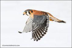 American Kestrel (Falco sparverius) male in flight against snowy background Pretty Birds, Beautiful Birds, American Kestrel, Birds Of Prey, Raptors, Owl, Wall Art, Nature, Hawaii