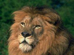 wild Lion Pictures   Львы :: Фото №6 Прическа - Фото диких ...