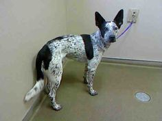 *YOGI - ID#A712772    Shelter staff named me YOGI.    I am a male, black and white Australian Shepherd mix.    The shelter staff think I am about 1 year and 7 months old.    I have been at the shelter since Apr 29, 2013.