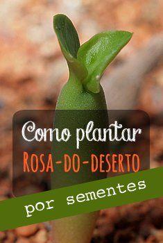 Como plantar rosa-do-deserto por sementes. #adenium #rosadodeserto #sementes #plantio #diy Foto de Dornenwolf