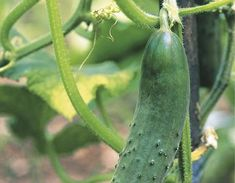 Cucumber, Neon, Vegetables, Gardening, Lawn And Garden, Neon Colors, Vegetable Recipes, Zucchini, Veggies