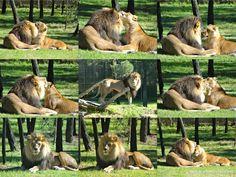 Taronga Western Plains Zoo lions