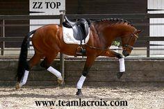 ZZ TOP (KWPN) dressage stallion at Stud Paris France www.teamlacroix.com