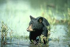 . Black Bear