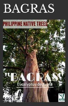 Eucalyptus Tree, Best Herbs To Grow, All About Plants, Forest Plants, Wood Tree, Flowering Trees, Botany, Landscape Architecture