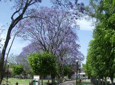 La Piedad. Jacarandas del Parque Morelos ,46