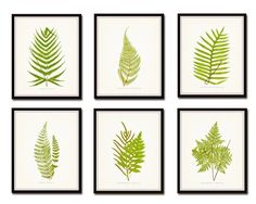 """Vintage Ferns Botanical Print Set No. 2 Set of 6 Giclee Fine Art Prints. These beautiful fern illustrations have been adapted from an antique British natural history text. The images have been restored and added to a light neutral background enhancing their timeless appeal. • Free Shipping • Money Back Guarantee • Sizes Available: 5x7, 8x10, 11x14 • Trimmed to size for easy framing. • Sized to fit """"off the shelf"""" standard retail frames & mats. • Printed on Professional Archival Paper…"""