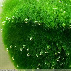 marimo bubblies