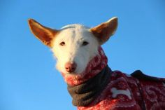 Pinta is an adoptable Ibizan Hound Dog in McLean, VA Meet Ms. Ears - our pretty, happy-go-lucky Podenco girl Pinta! She is a gorgeous lady who gets  ... ...Read more about me on @petfinder.com