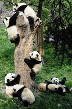 """baby panda party  This picture reminds me of the children's song, """"The Teddy Bears' Picnic.""""... So Very Cute... :) :) :) :) :)..."""
