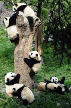 C'est la fête des bébé pandas !