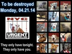 TO BE DESTROYED - 04/21/14 PITTIES ARE IN DANGER AGAIN. ALL THESE DOGS COUNT ON US!!! LET'S NOT LET THEM DOWN!!! PLEASE OPEN YOUR HEARTS AND PLEDGE, TAKE THEM HOME, BUT BE QUICK AS TIME IS TICKING AWAY. THE LIST IS VERY LONG AGAIN AND WE WE HAVE SOLITTLE TIME SO BE QUICK WHEN MAKING UP YOUR UP. https://www.facebook.com/media/set/?set=a.611290788883804.1073741851.152876678058553&type=3