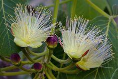Flores de pequi, Caryocar brasiliense.