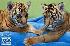 Dumai the Sumatran Tiger cub has a new friend!  Berani (at left) arrived this week from the Tulsa Zoo.  The two cubs will play and grow together.