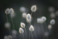 Bunny tails in beach grass