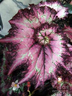 I love spirals found in nature.  This one is the Rex Begonia.