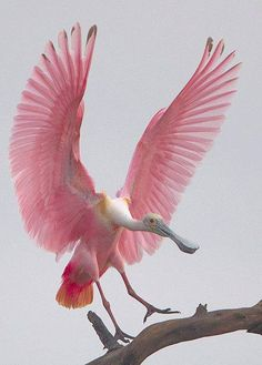 Roseate Spoonbill. A wading bird of the southern coasts, the Roseate Spoonbill uses its odd bill to strain small food items out of the water. Its bright pink coloring leads many Florida tourists to think they have seen a flamingo.