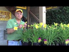 www.Sollecito.com Landscaping Ideas - Daylilies - YouTube. Learn how daylilies can spice up your cuisine AND your garden. To get advice from a Senior NYS Certified Landscaping Professional on how you can design & create sustainable and affordable landscapes visit sollecito.com. #HomeLandscapeDesign #LandscapingDesignPictures #BackyardLandscapeDesign