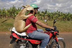 A man carries a lamb on a motorcycle in Havana.