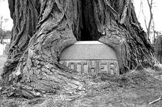 MOTHER .. Tree overgrowing headstone. Old Burying Ground, Wakefield, MA