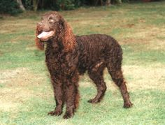 American Water Spaniel. They are members of the sporting group. They are great gundogs and retrievers. They stand at 15-18 inches at the shoulder and weigh about 25-45 pounds.