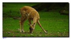 Junges Damwild. Pinterest Blog, Kangaroo, Animals, Kunst, Animales, Baby Bjorn, Animaux, Animal, Animais