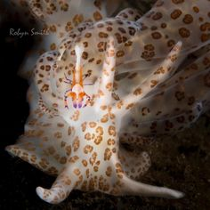 "robynsoceanlens Solar Powered . ""Solar Powered"" Nudibranches (#phyllodesmium) prefef to feed on soft corals. These corals contain a photosynthesizing algae that the nudibranch stores upon ingestion. With a bit of nurturing, this ingested algae continues to photosynthesize from within the nudibranch, in turn ""solar powering"" its host nudi…"