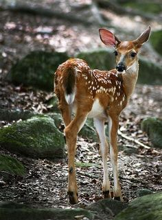 Life of the Whitetail Deer Buck in the Spring Nature Animals, Animals And Pets, Wild Animals, Beautiful Creatures, Animals Beautiful, Tier Fotos, Mundo Animal, Baby Deer, Woodland Creatures