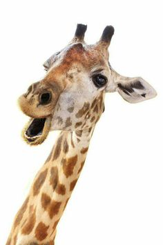 Find Giraffe Head Face Look Funny Isolated stock images in HD and millions of other royalty-free stock photos, illustrations and vectors in the Shutterstock collection. Giraffe Facts, Giraffe Head, Cute Giraffe, Cartoon Giraffe, Baby Giraffes, Animals And Pets, Baby Animals, Funny Animals, Cute Animals