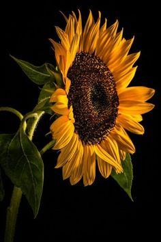 Blumen / Flowers / Fiori Sunflower Wallpaper casino de m Sunflower Pictures, Sunflower Art, Yellow Sunflower, Yellow Flower Pictures, Sunflower Paintings, Dark Iphone Backgrounds, Wallpaper Backgrounds, Trendy Wallpaper, Black Wallpaper