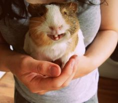 OMG this is so cute! It's like a Japanese hamster! Or is that a guinea pig? Smiling Animals, Happy Animals, Animals And Pets, Funny Animals, Smiling Pig, Animals Photos, Pet Guinea Pigs, Pet Pigs, Guinea Pig Bedding