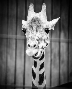 Baby Giraffe  #giraffe #igerschicago #zoo #baby #blackandwhite