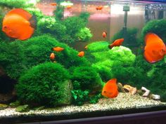 What You Should Know about Cool Aquarium Fish : Cool Fish For Planted Aquariums. Cool fish for planted aquariums. Discus Aquarium, Discus Fish, Freshwater Aquarium Fish, Planted Aquarium, Aquariums, Aquarium Design, Aquarium Ideas, Cool Fish, Tropical Fish