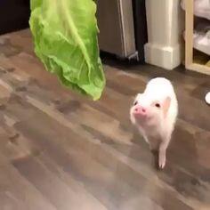 Cute Baby Pigs, Cute Piglets, Baby Teacup Pigs, Baby Piglets, Cute Little Animals, Little Pigs, Cute Funny Animals, Cute Animal Videos, Cute Animal Pictures