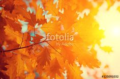 """Download the royalty-free photo """"Oak branch with yellow leaves in the forest in autumn at sunset"""" created by vvvita at the lowest price on Fotolia.com. Browse our cheap image bank online to find the perfect stock photo for your marketing projects!"""