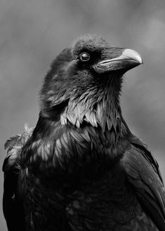 Ravens -- less social than crows, these highly intelligent black birds are found in North America.