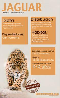 #Jaguar #Infografía. Big Cats Art, Cat Art, Animal Jaguar, Cat Behavior, Animal Facts, Cat Health, Mammals, Spanish, Education