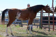Rhoad Rhave -- Purebred Arabian stallion by Rhocky Rhoad
