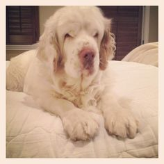 I love my Clumber Spaniel more than words can say.