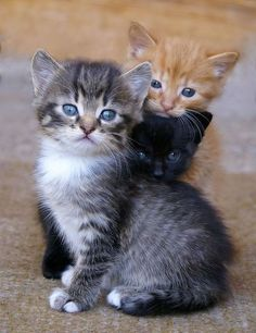 These kittens will make you happy. Cats are wonderful creatures. - These kittens will make you happy. Cats are wonderful creatures. These kittens will make you happy. Cats are wonderful creatures. Kittens And Puppies, Little Kittens, Cute Cats And Kittens, Kittens Cutest, Fluffy Kittens, Bengal Kittens, Siamese Cats, Pretty Cats, Beautiful Cats