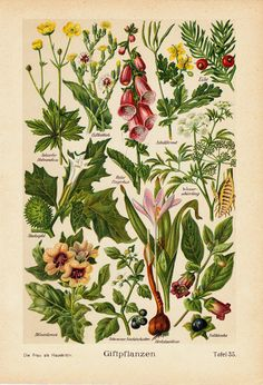 1910 POISONOUS PLANTS Antique botanical print, forest fruits,  thorn apple, Foxglove
