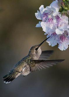 Anna's Hummingbird by Martina Thompson