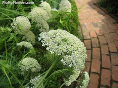beautiful garden with white Queen Ann's Lace flower in Macon, Georgia, deep south, southern United States